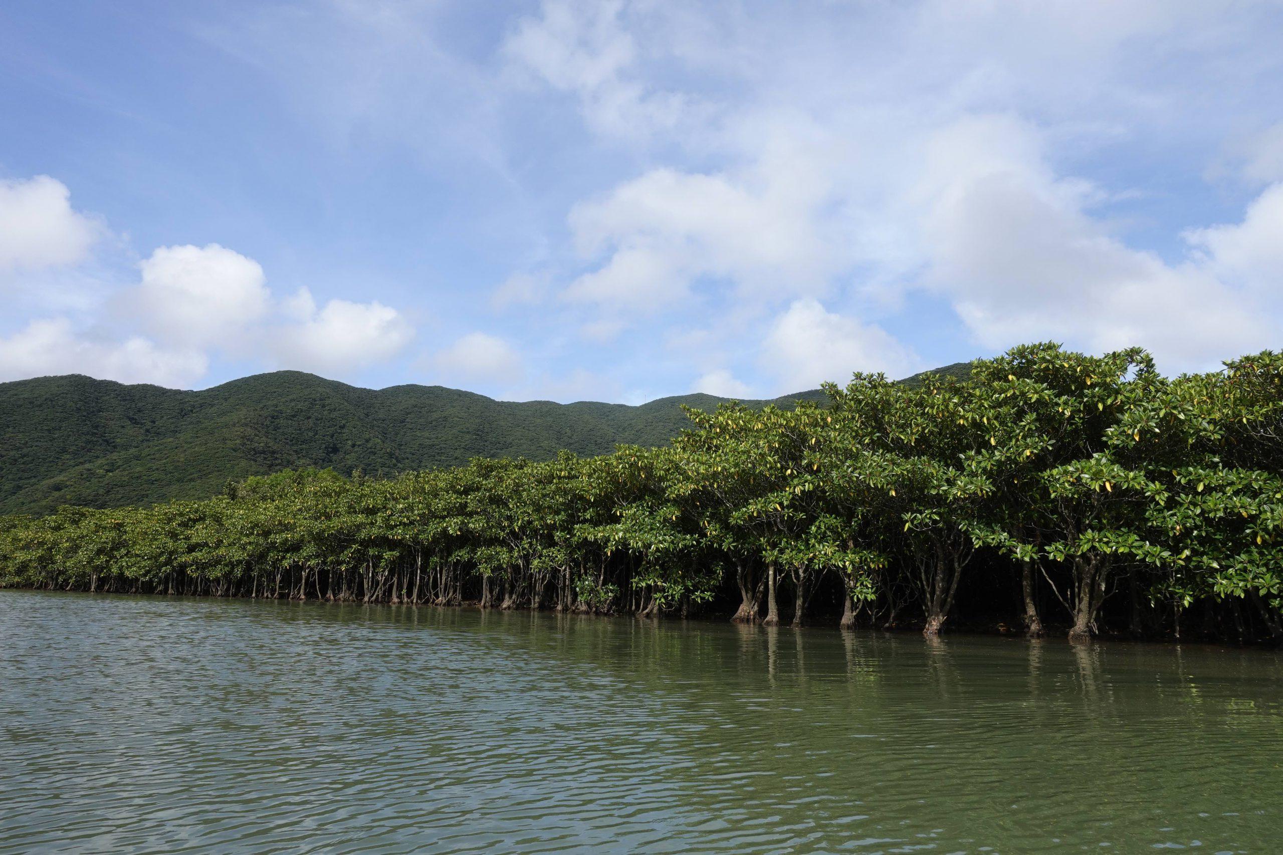奄美大島観光マングローブ11
